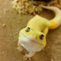 Cute yellow leopard gecko