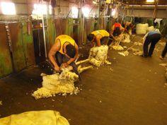 Sheep shearing in Nyabing, Western Australia