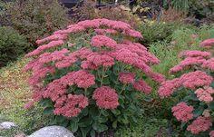 Komeamaksaruoho, kukkii pakkasiin saakka Dream Garden, Home And Garden, Garden Plants, Outdoor Gardens, Zen, Environment, Romantic, Garden Ideas, Flowers