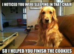 """I noticed you were sleeping in that chair... so I helped you finish the Cookies."" ~ Dog Shaming shame Golden Retriever - if I had a penny..."