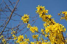 Frühlingsblüher # Forsythien # gelbe Blüten  # Farbenreich
