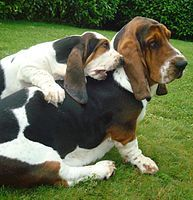BASSET HOUND Basset Hounds originate from France, where the breed was known for hunting and tracking. Today, Basset Hounds make wonderful watchdogs, and are very good with kids. Hound Puppies, Basset Hound Puppy, Cute Puppies, Dogs And Puppies, Bassett Hound, Droopy Dog, Droopy Eyes, Friendly Dog Breeds, Fat Dogs
