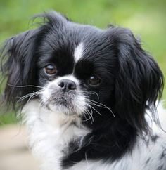 Cricket is an adoptable Japanese Chin searching for a forever family near Farmington, CT. Use Petfinder to find adoptable pets in your area.