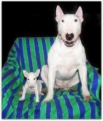Resultado de imagem para filhos bull terrier