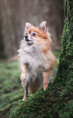 Pomeranian Pomeranian, Fox, Animals, German Spitz, Animales, Animaux, Animal, Pomeranians, Animais