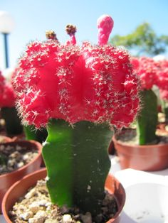 How to care for Moon Cactus.  They only live for a few years. Fertilize once a month and water once a week.