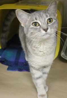 ADOPTED>Intake: 11/14 Available: 11/20 NAME: Tulip  ANIMAL ID: 30186419 BREED: DSH  SEX: Female  EST. AGE: 10 mos  Est Weight: 4.2 lbs  Health:  Temperament: Friendly  ADDITIONAL INFO:  RESCUE PULL FEE: $39