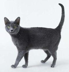 Cómo es el gato Korat