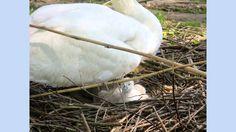 van ei tot jonge zwaan heel mooi gefotografeerd