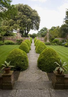 Rounded box topiary border the path in the Eagle Court at Tintinhull Garden, Somerset