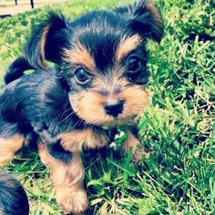 yorkie puppy- can someone tell my husband this is what I want for my birthday:) I know it's 8 months away! Haha