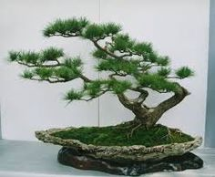 japanese bonsai tree - Google Search
