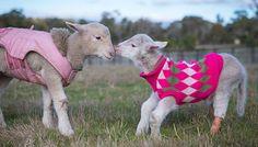 Lemonade the Lamb: 7 Precious Photos to Brighten Your Day - ChooseVeg.com