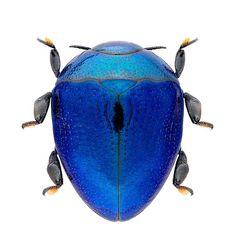 sombhatt: Pachyscelus sp