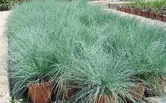 Festuca glauca (blauw schapengras) zilver-blauwe naaldachtige blad, mooi groenblijvend siergrasje, kan ook in kuip en bij bodembedekkers