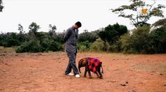 Saving Africa's Giants with Yao Ming | Tue Nov 18 10/9c ((33,000 elephants are killed every year for their ivory. Support 姚明 Yao Ming in the fight to end the ivory trade. Watch Saving Africa's Giants with Yao Ming Tuesday, Nov. 18 at 10/9c on Animal Planet and sign the #IvoryFree pledge: http://ivoryfree.org/))