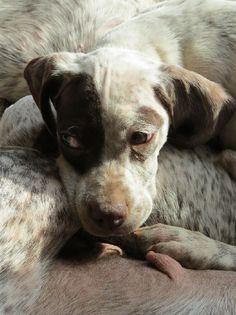 Du Clos De La Chevardière - JINGXI Braque Du Bourbonnais, Dads, Animals, Dog Breeds, Dog Baby, Animales, Animaux, Fathers, Animal