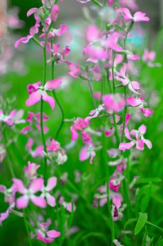 Night Scented Stock Care: How To Grow Evening Stock Plants Bonsai Garden, Garden Plants, Herb Garden, Plant Night, Stock Flower, Line Flower, Indoor Flowers, Moon Garden, Cut Flowers