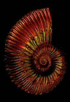 Fossil Jewelry, Shell Beach, Shell Art, Ammonite, Nautilus, Awakening, Sea Shells, Minerals, Stones