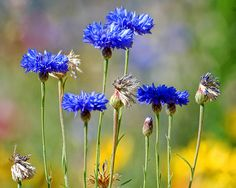 Blue flower by CGoulao, via Flickr