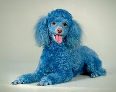 Cotton the Blue Toy Poodle. Visit him at www.myspace.com/cottonthebluetoypoodle    He an adorable and funny dog. The cutest blue poodle in the world