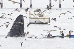 Boaters, paddlers enjoy amazingly close humpback whale encounter