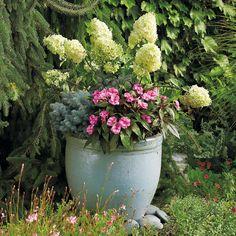A – Hydrangea Hydrangea paniculata 'Limelight'        B – Dwarf blue spruce Picea pungens 'Glauca Globosa'        C – New Guinea impatiens Impatiens 'Celebration Rose Star'