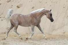 fleabitten grey - Arabian mare Break Point