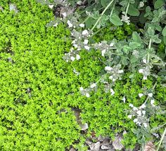 Lime Thyme (website overall looks like good source for varied thymes for between front walk flagstones) Thyme Plant, Landscape Drainage, Organic Plugs, Front Yard Plants, Plant Zones, Hillside Landscaping, Lawn Sprinklers, Plant Identification, Ground Cover Plants