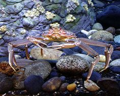 "Tanner crabs are one of two crab species on a recently compiled ""green list"" indicating seafood species that are both healthful and sustainably harvested"