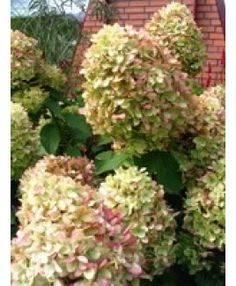 hortensia hydrangea on pinterest hydrangea macrophylla. Black Bedroom Furniture Sets. Home Design Ideas