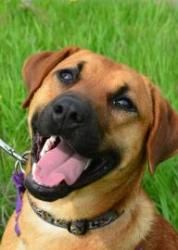 Flapjack is an adoptable Shepherd Dog in Neenah, WI. Hi there! My name is Flapjack! I am a 1 year old shepherd/hound mix! I know I am a very handsome boy so there is no need tell me twice, however I s...
