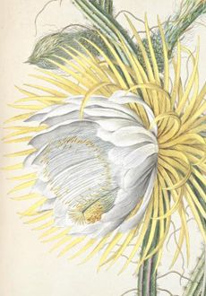 Victorians already knew that moths flock to the exquisitely sweet-scented Night-Blooming Cereus [cacti]. The wealthy sometimes hosted nighttime parties to await its one-night-only blossoming. Darwin studied how moths feed on the nectar of this cactus and then carry pollen to another flower.  Hand-colored engraving by Georg Dionysus Ehret from Plantae Selectae by C. J. Trew, 1750-175