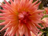 """Brookside Cheri"" Dahlia - bloom type: slightly lacinated cactus, color: Salmon Pink, bloom size: 4-5 in, height: 5ft"