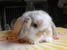 sweet little holland lop bunny Mini Lop Bunnies, Holland Lop Bunnies, Dwarf Bunnies, Cute Baby Bunnies, Cute Baby Animals, Lionhead Bunnies, Mini Rex Rabbit, Pet Rabbit, Hamsters