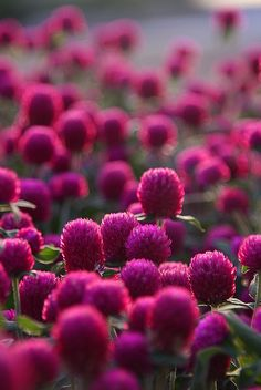 Thought this was Red Clover, but definitely looks more like Globe Amaranth. Pretty!!