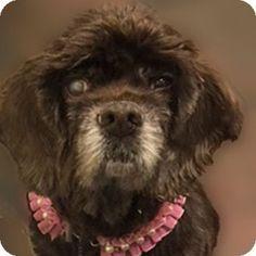 Newington, VA - Cocker Spaniel. Meet Sissy, a dog for adoption. http://www.adoptapet.com/pet/17410385-newington-virginia-cocker-spaniel