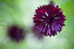 Centaurea cyanus 'Black Ball' Flower Garden Plans, Cut Flower Garden, Types Of Flowers, Cut Flowers, Beautiful Gardens, Beautiful Flowers, Tree Identification, Geraniums