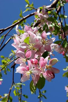 Weeping Cherry Tree Blossoms