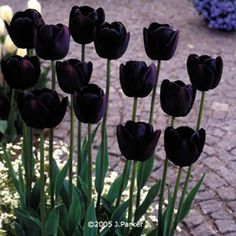 Another great find on 'Queen of Night' Tulip Bulb - Set of 12 Equally at home in a rock garden, traditional beds, cut arrangements and more, these versatile tulips are a timeless addition to your display. The dark, stately color of these 'Queen o Black Tulips, Black Flowers, Spring Flowers, Beautiful Flowers, Unusual Flowers, Yellow Flowers, Night Flowers, Bulb Flowers, Hardy Perennials