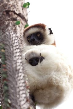 Sifaka Lemur and baby. Photo by Matthew May on 500px.com