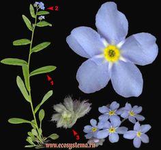 Незабудка болотная — Myosotis palustris (L.) L. (Myosotis scorpioides L.)