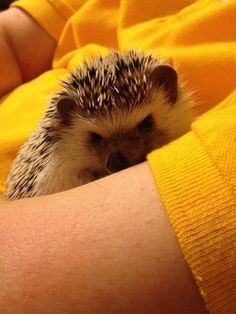 Mutation Pygmy Hedgehog Miscilanious Cuteness Pinterest - This instagram account will satisfy your addiction for adorable hedgehogs