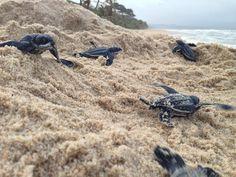 Leatherback Turtle Hatchlings, Trinidad and Tobago