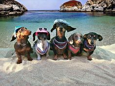 Find cute and funny costumes for sausage dogs, make your sausage dog even more adorable when dressed in a cute dachshund costume. Dachshund Funny, Dachshund Puppies, Dachshund Love, Cute Puppies, Weenie Dogs, Cute Dogs, Dogs And Puppies, Daschund, Doggies