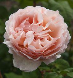 Rose Princesse Charlène de Monaco ® Meidysouk