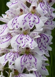 Heath Spotted Orchid: how beautiful is this?