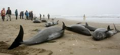Local residents try to save melon-headed dolphins stranded on the coast in Hokota.  Possible sign of impending earthquake???