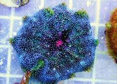 Maxi mini carpet anemone