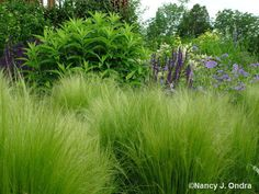 i semi di tiziana - stipa tenuissima Grass Species, Mexican Feather Grass, Types Of Grass, Stipa, Garden Planter Boxes, Splendour In The Grass, Ornamental Grasses, Landscaping Plants, Flowering Trees